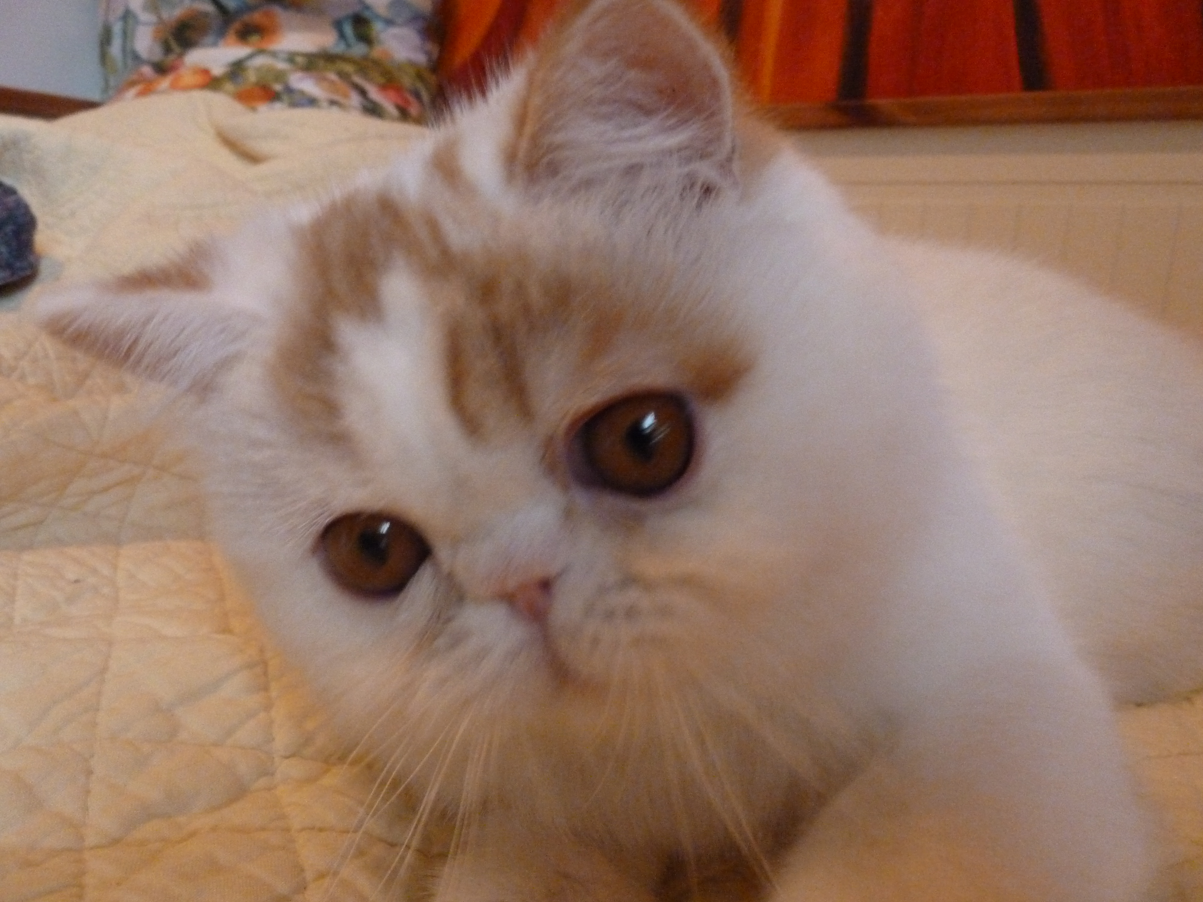 Eye stains on exotic shorthair cats and Persian cats ...
