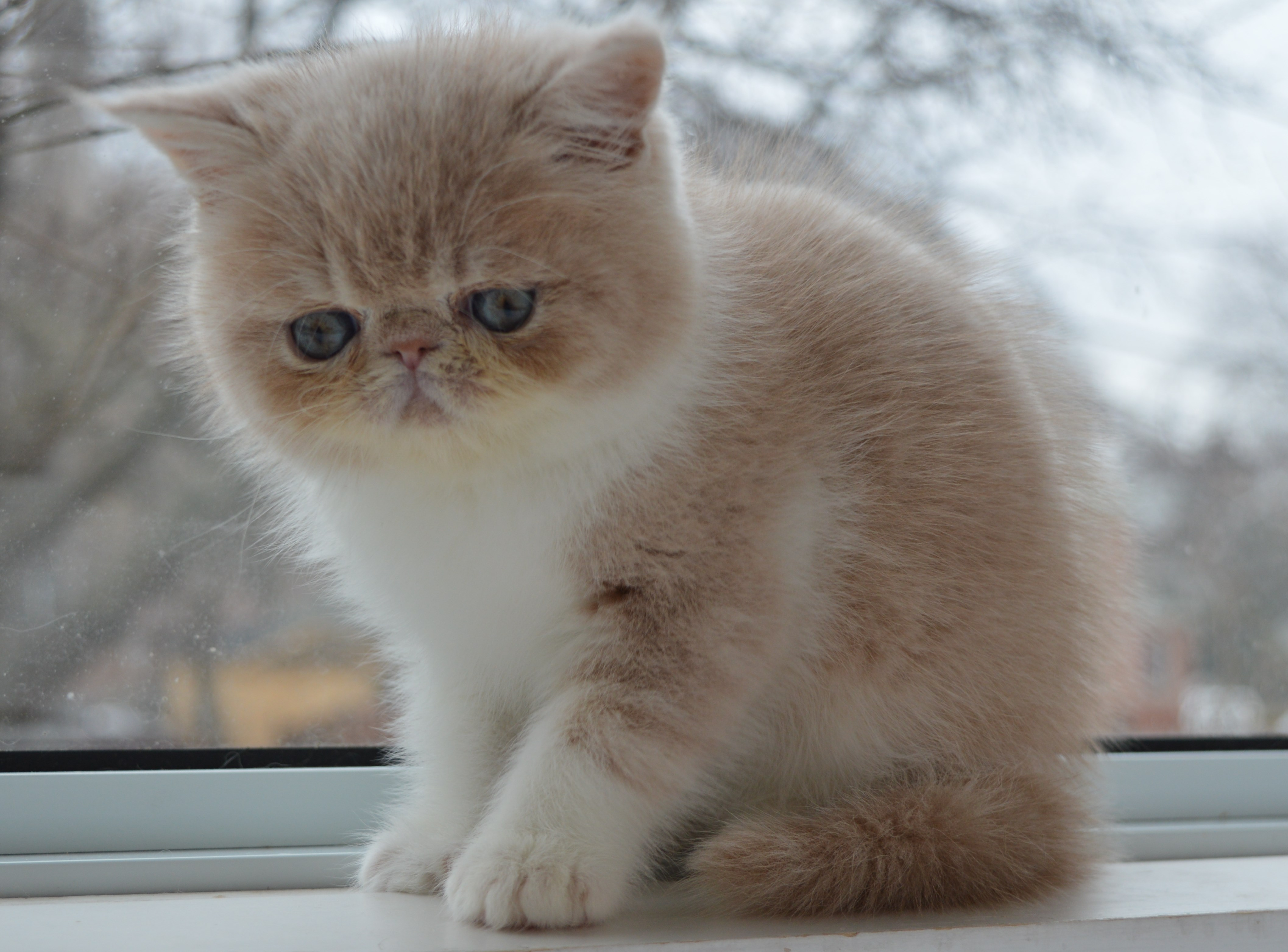 Exotic shorthair cat breeders in michigan – Popular breeds of cats
