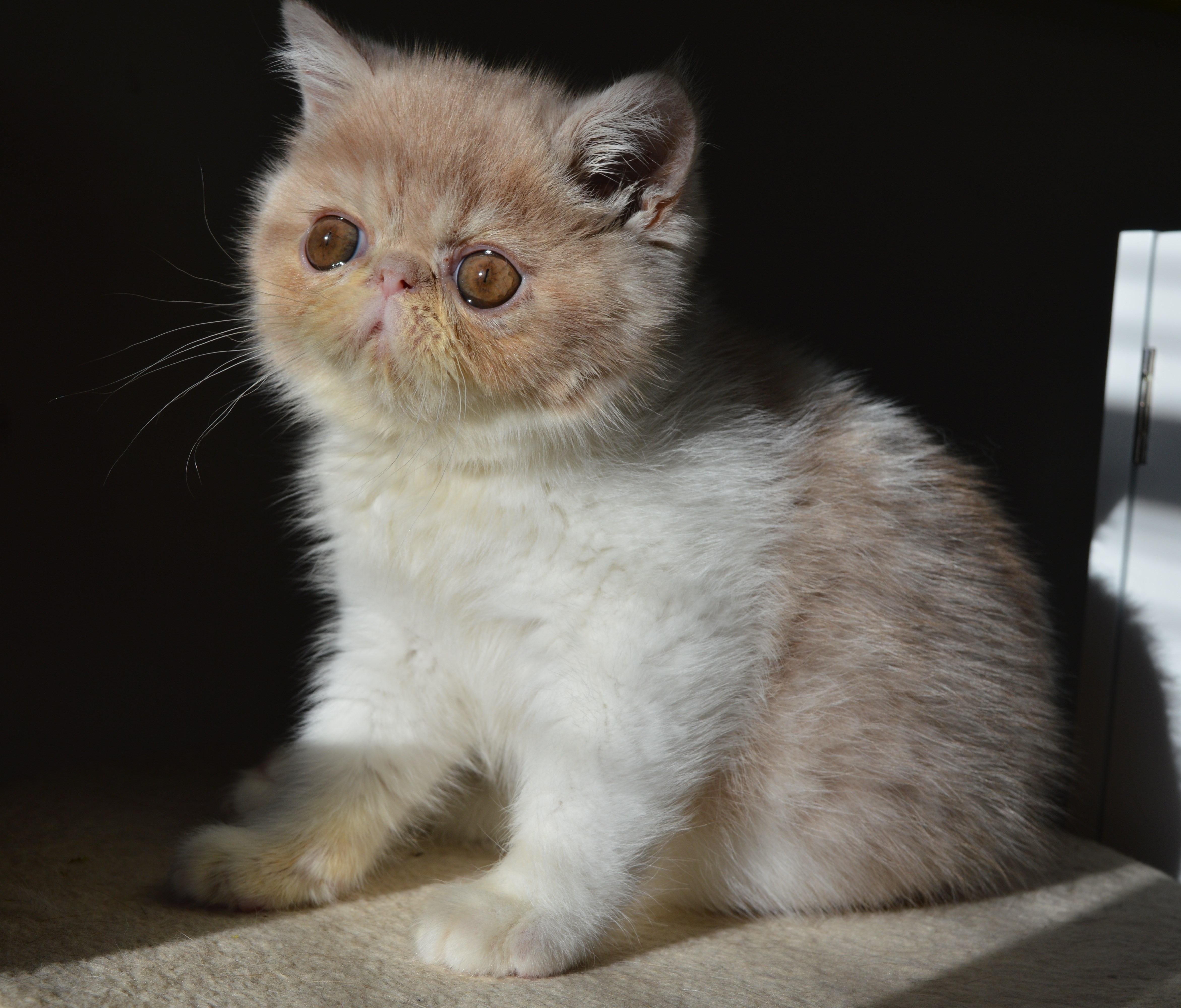 exotic shorthair | artbygabi & ella cats cattery of exotics | page 2