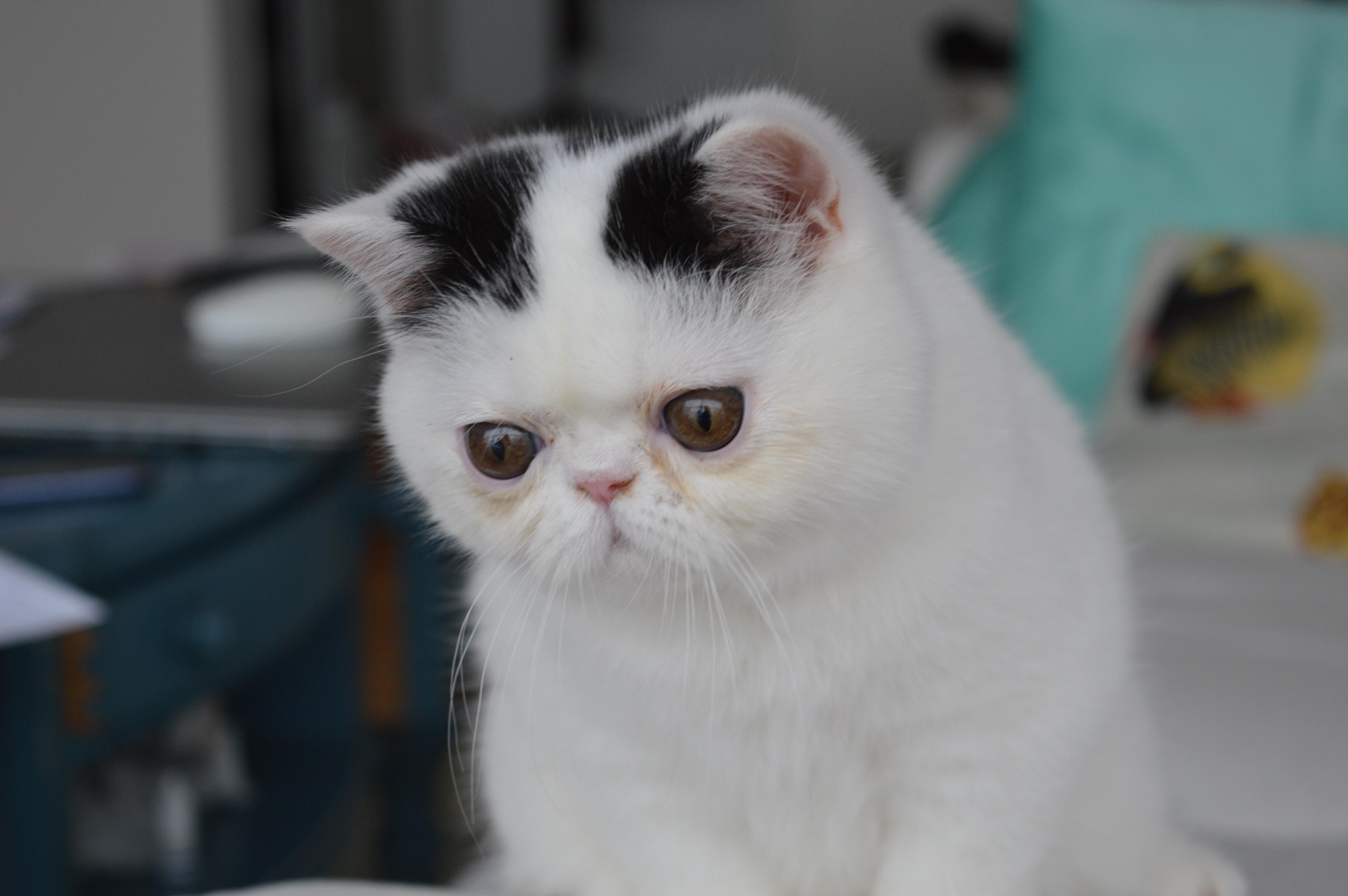 siamese cat rescue northern california